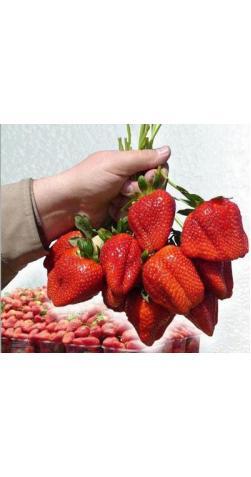 Клубника «Гигантелла» крупноплодная
