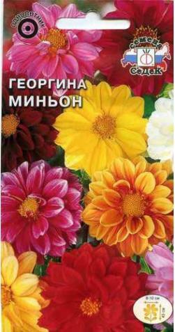 Георгин низкорослый «Миньон»